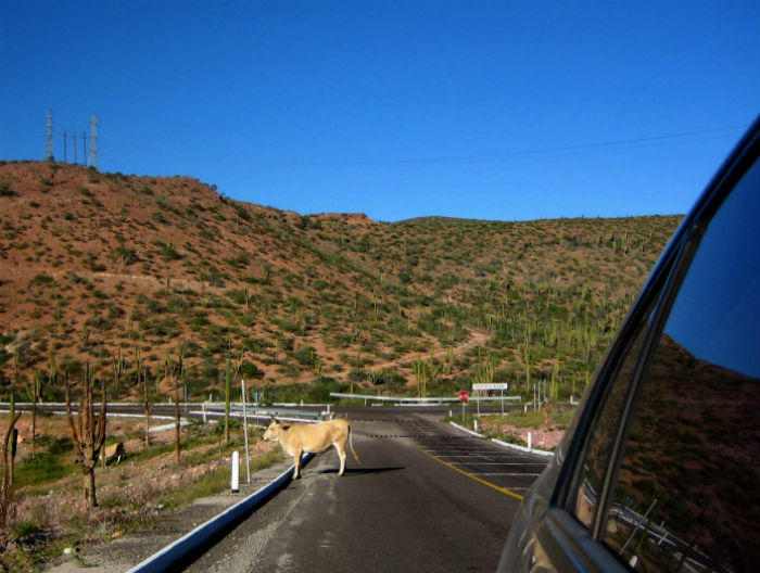 Bulls on highway in La Paz, Mexico
