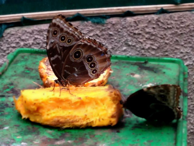 Morphos Butterfly