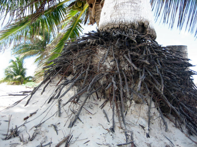 Tulum Palm Tree Roots
